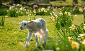 A lamb signifies spring. It also signifies a delicious roast dinner with mint sauce, roast spuds and all the trimmings. Yum.